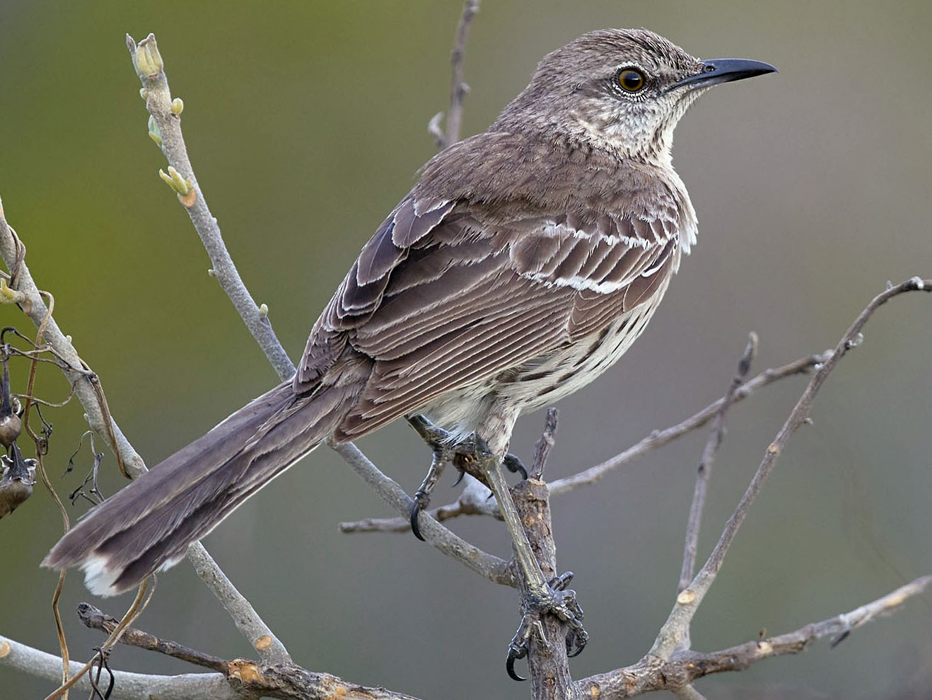 Bahama Mockingbird - Arturo Kirkconnell Jr