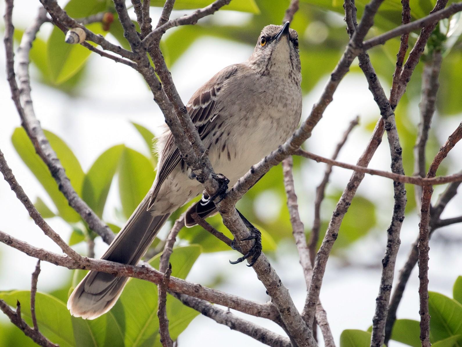 Bahama Mockingbird - Darren Clark