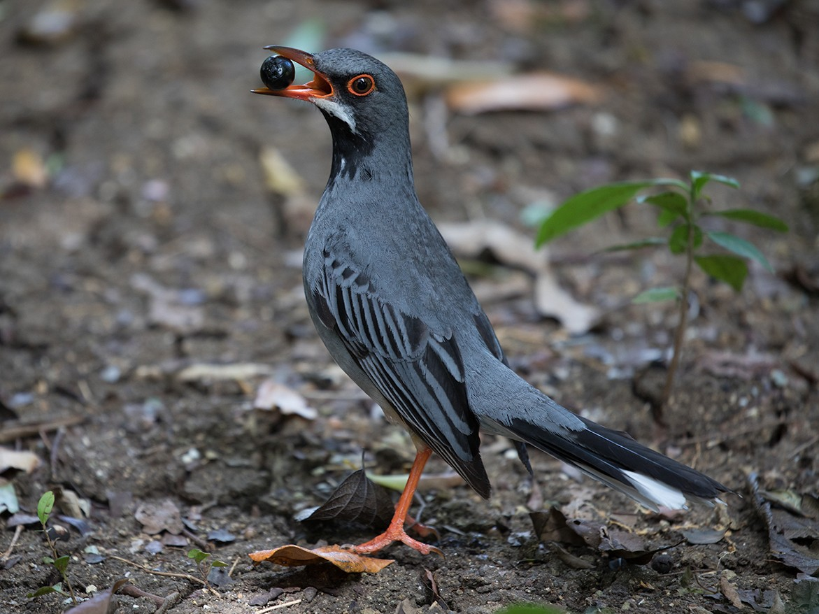 Red-legged Thrush - Suzanne Labbé