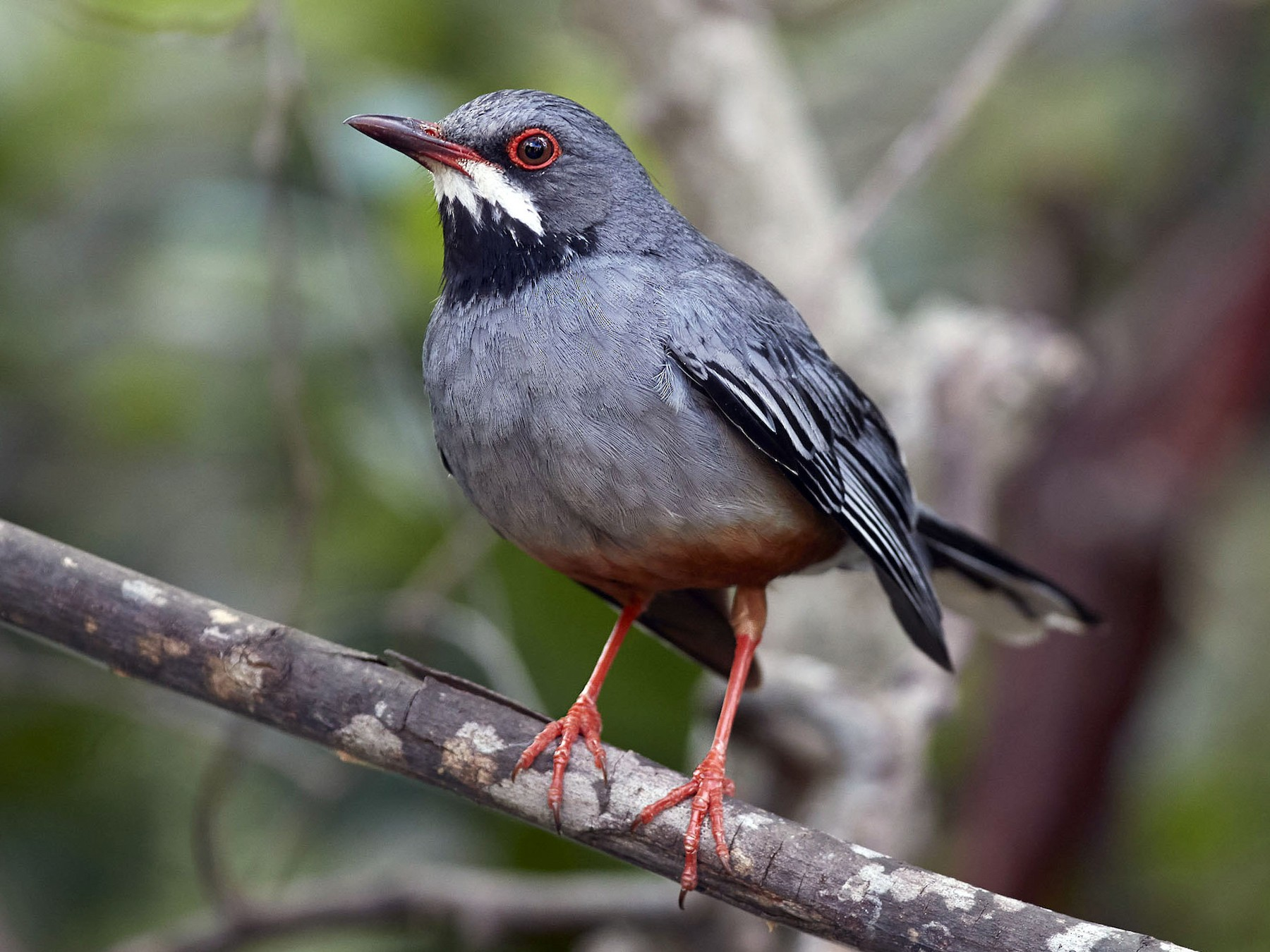 Red-legged Thrush - Arturo Kirkconnell Jr