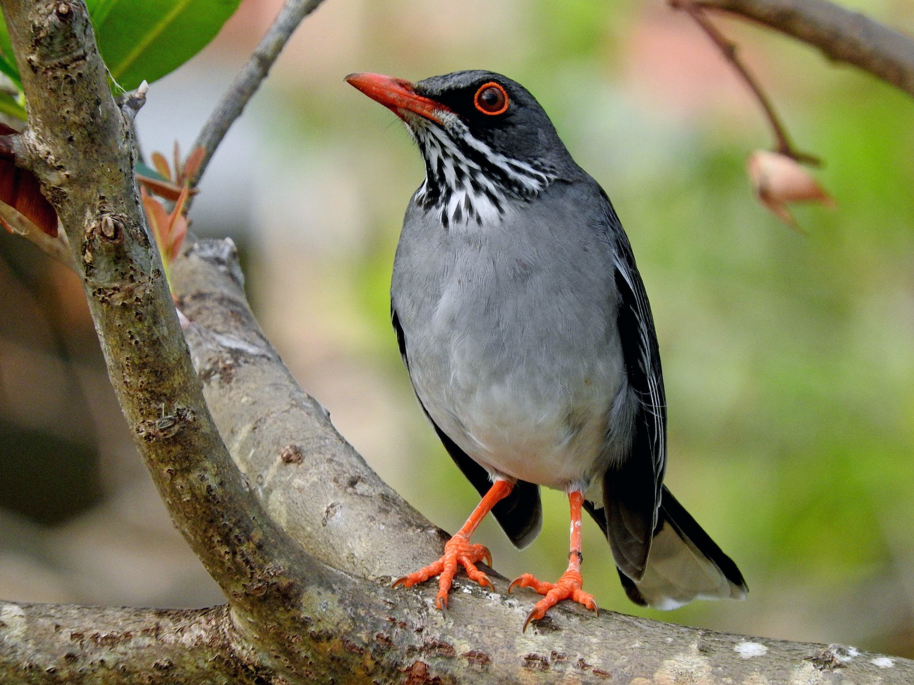 Red-legged Thrush - Eric Haskell