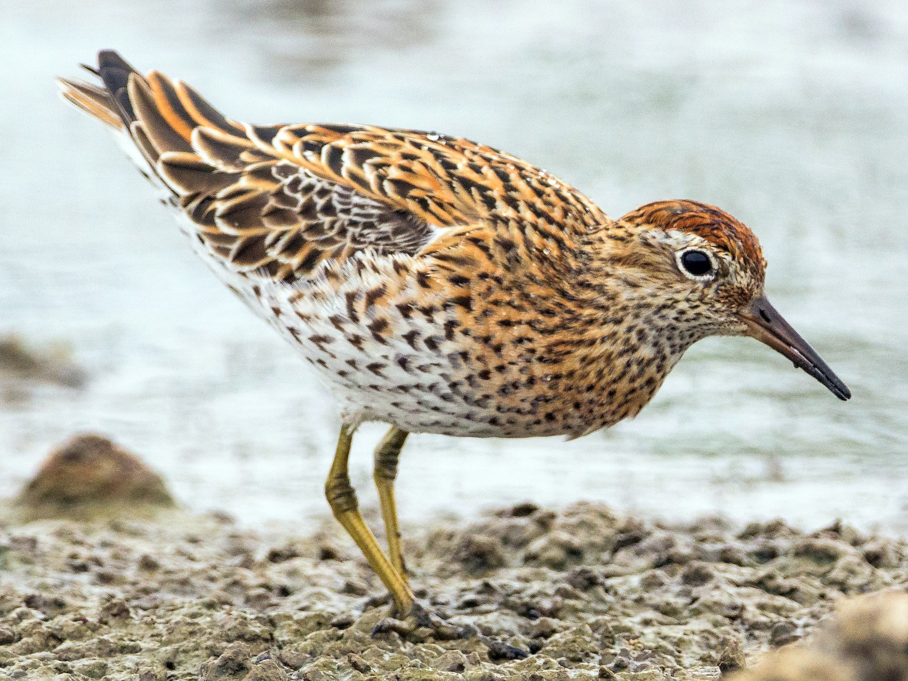 Sharp-tailed Sandpiper - Charles Wu