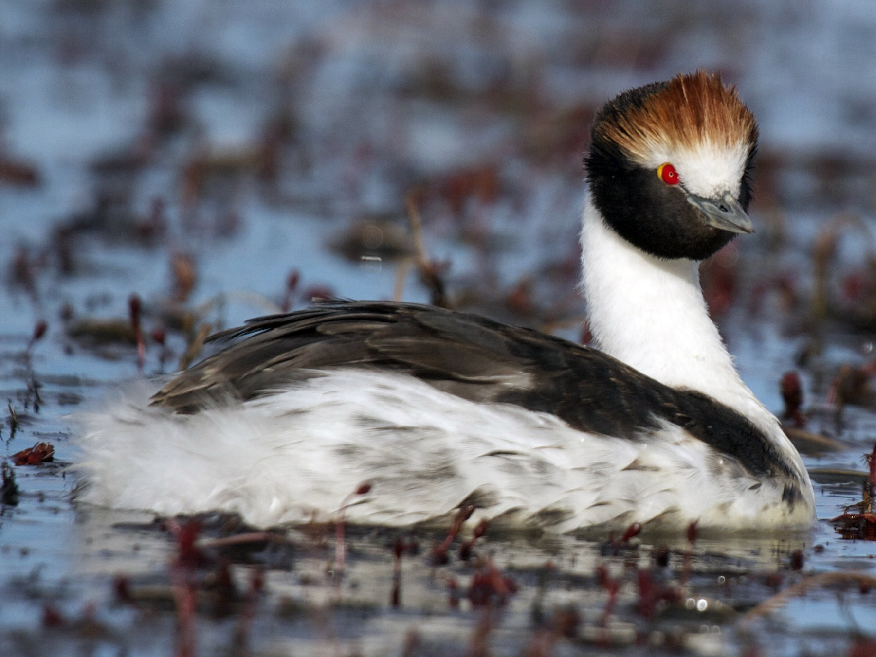 Hooded Grebe - Marshall Iliff