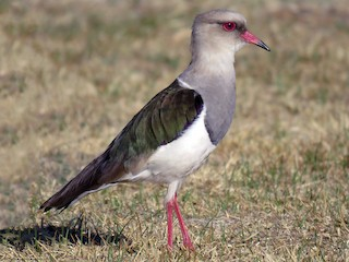 - Andean Lapwing