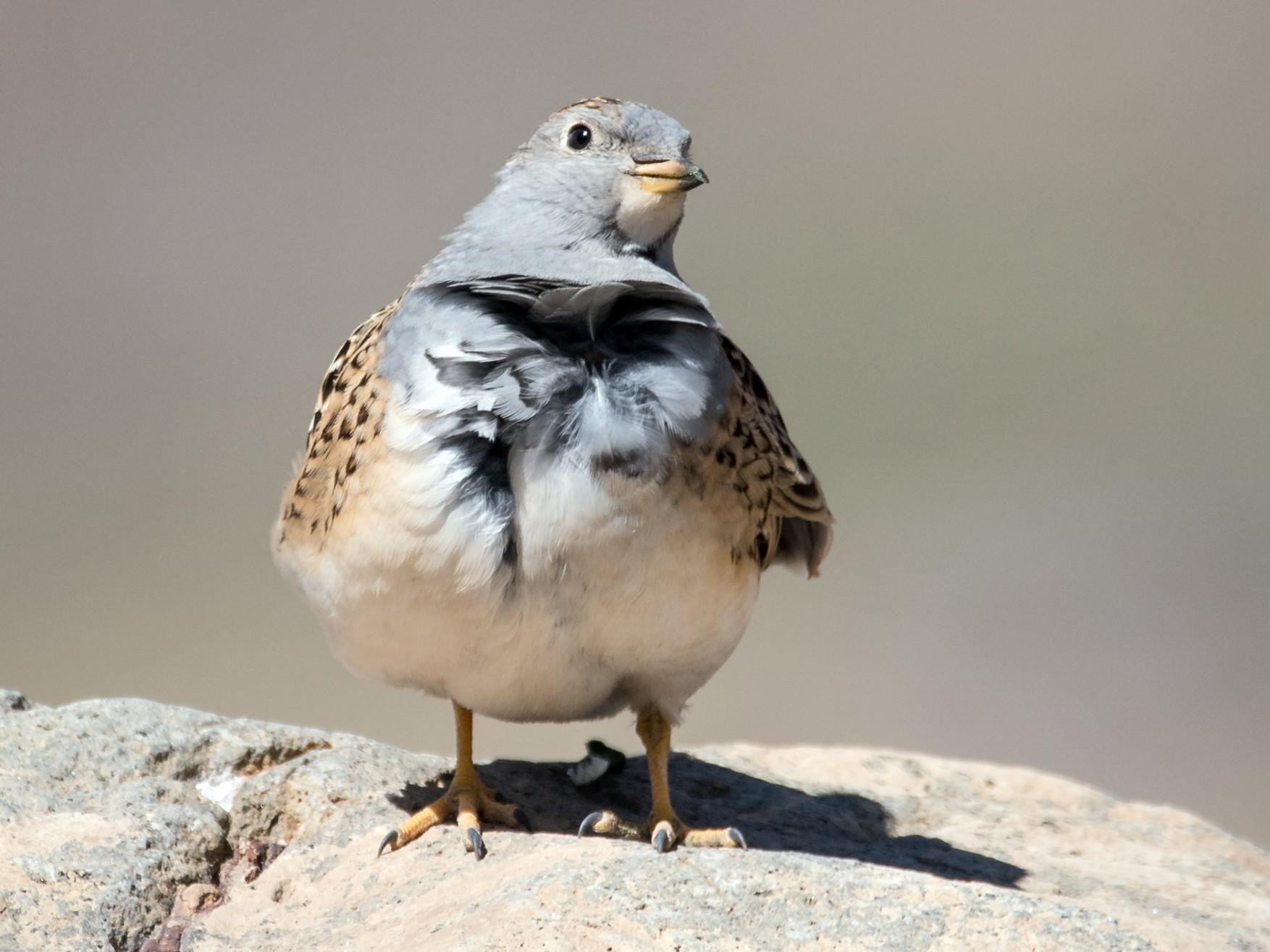 Gray-breasted Seedsnipe - Vicente Pantoja Maggi