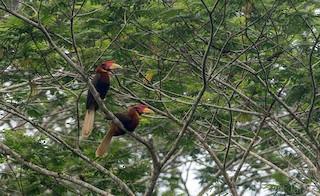 - Rufous Hornbill