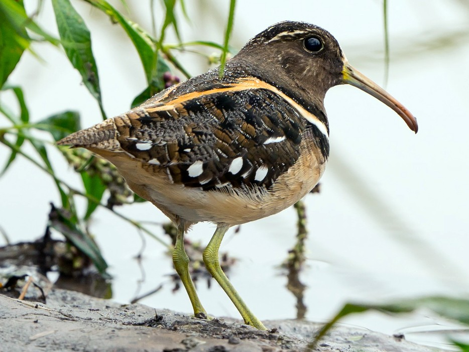 South American Painted-Snipe - Joao Quental JQuental