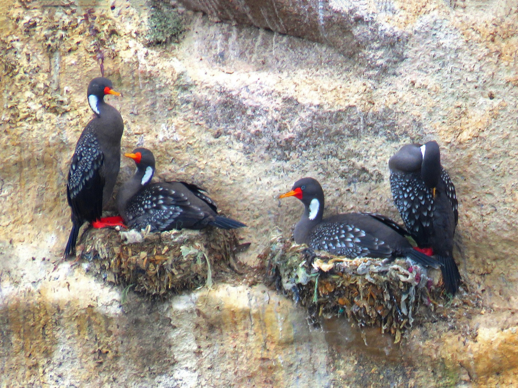Red-legged Cormorant - Marcelo Olivares Herrera