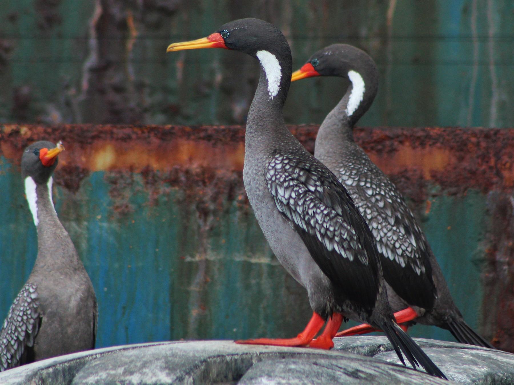 Red-legged Cormorant - Matías Garrido