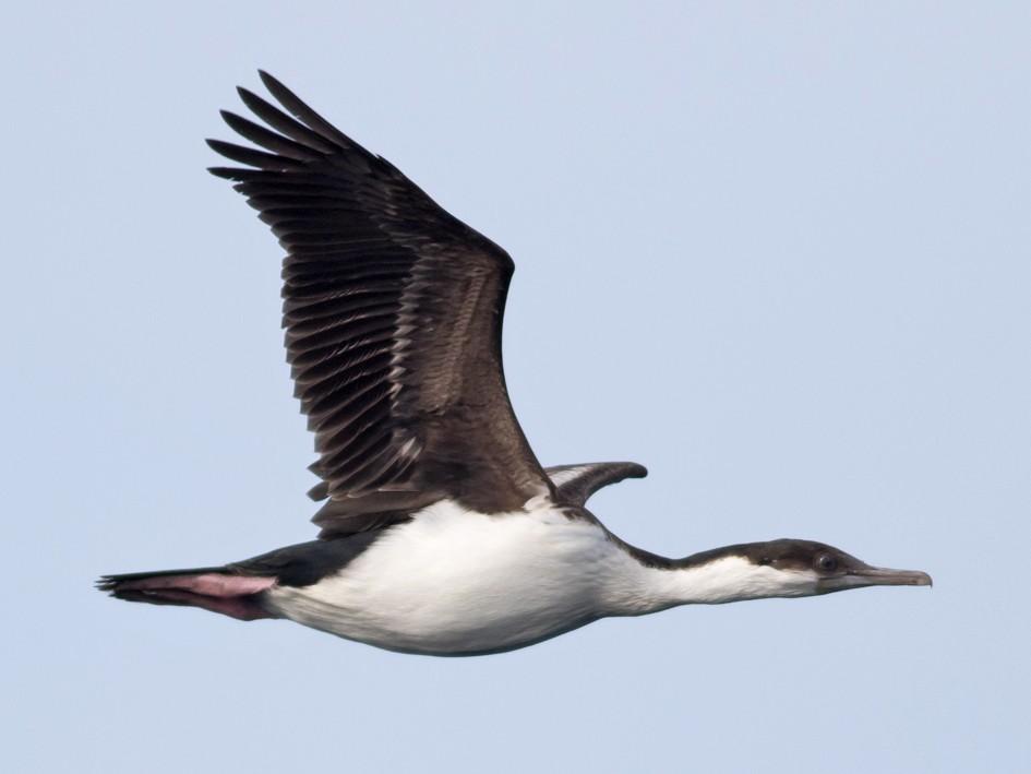 Imperial Cormorant - Tom Johnson