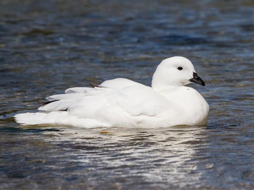Kelp Goose - Robert Lewis