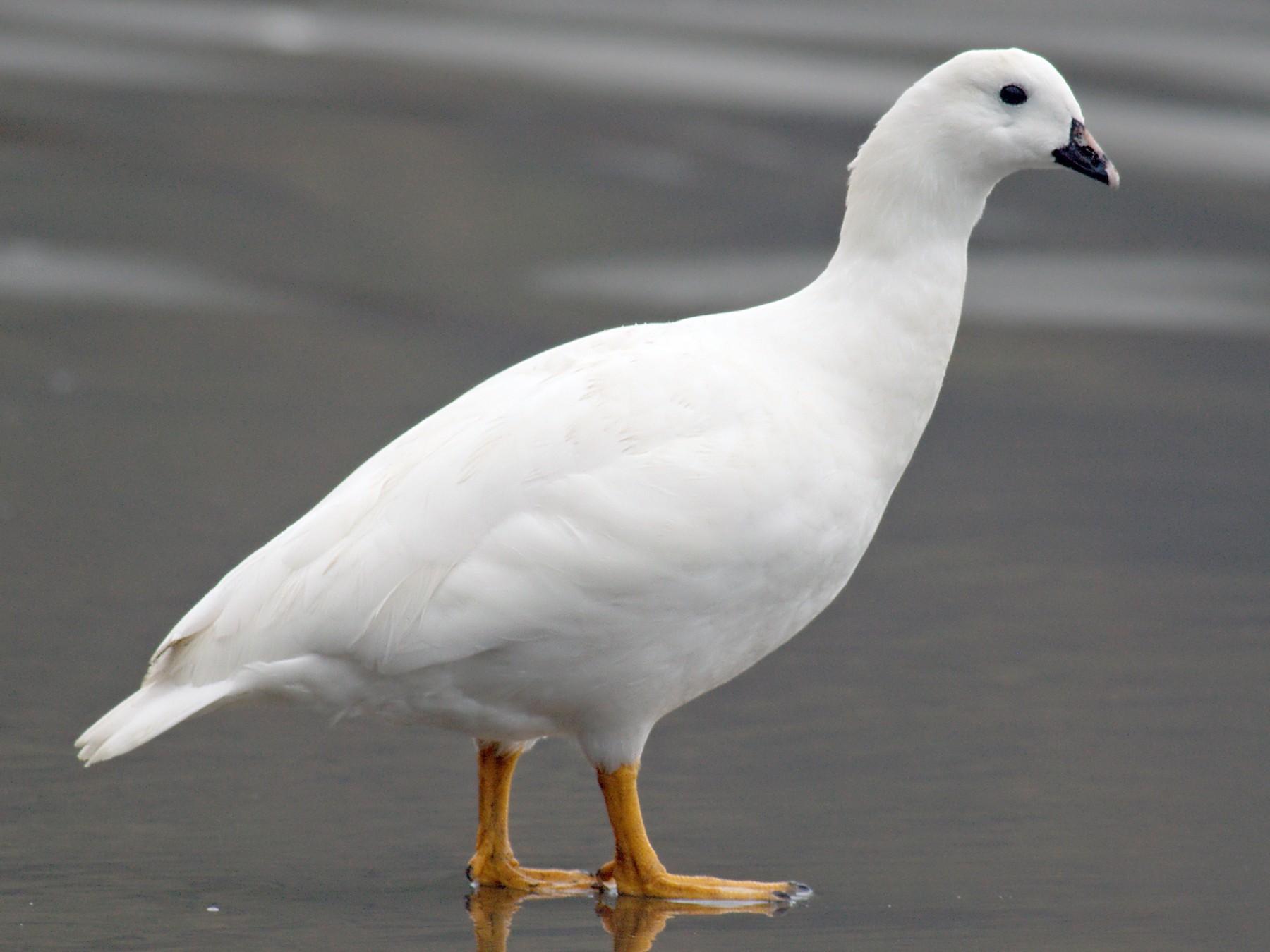 Kelp Goose - Etienne Artigau🦩