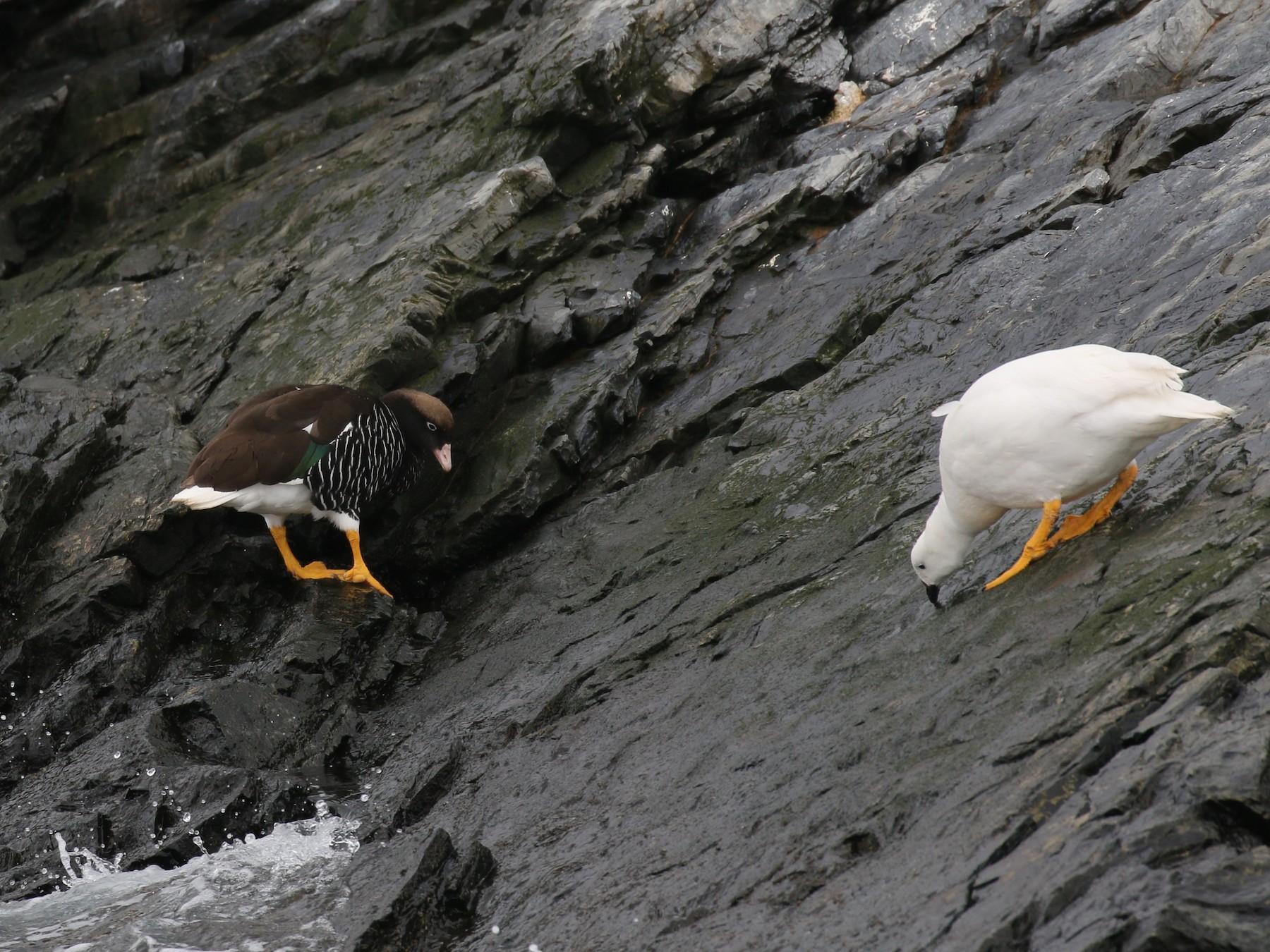 Kelp Goose - Jim Miles