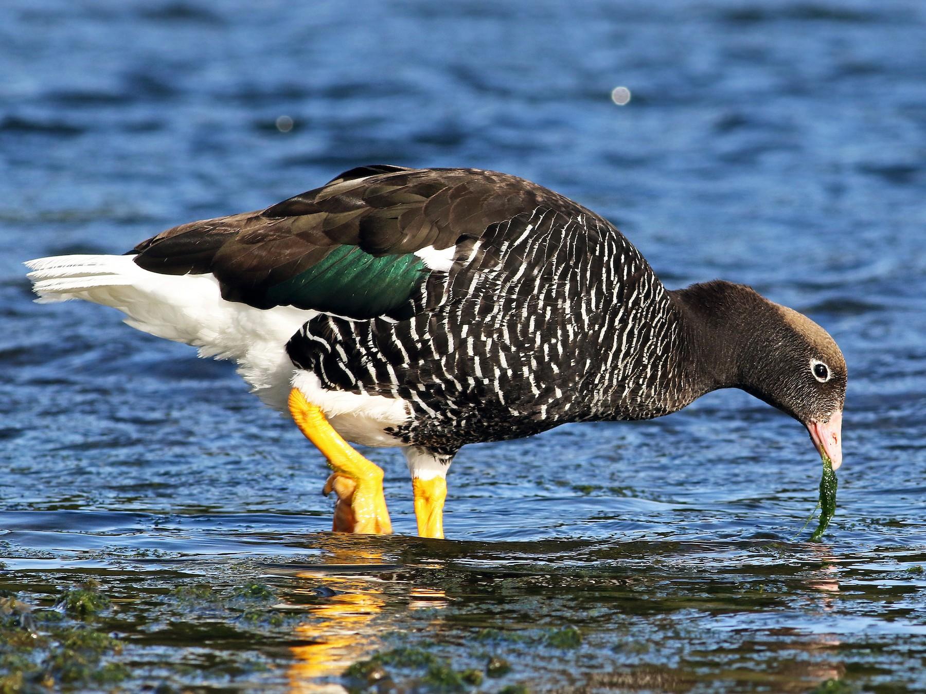 Kelp Goose - Andrew Spencer