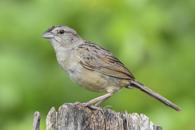Botteri's Sparrow (Peten)