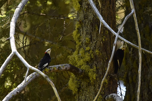 White-headed Woodpeckers interacting.