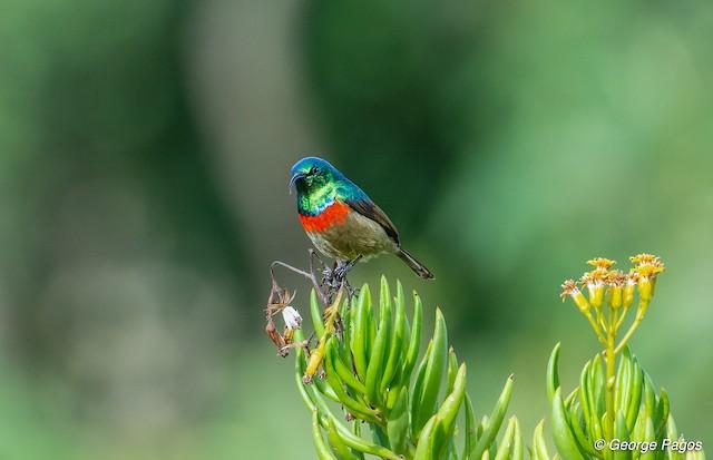 Eastern Double-collared Sunbird