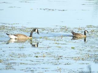 Cackling Goose, ML107495551
