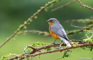 - Silverbird