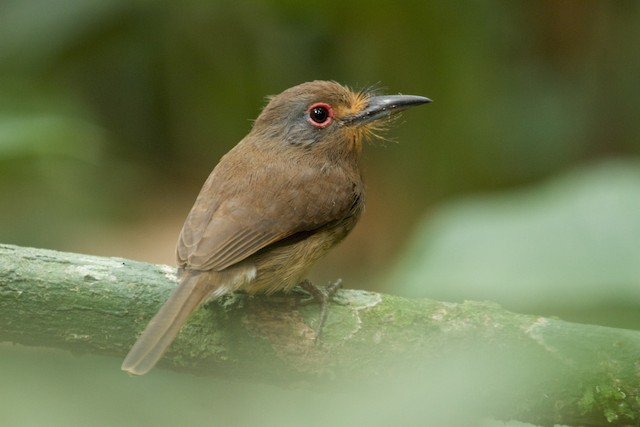 Fulvous-chinned Nunlet