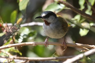 - Gray-capped Warbler