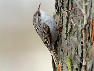 - Short-toed Treecreeper