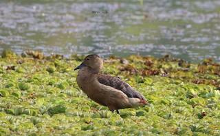 Lesser Whistling-Duck, ML107826801