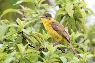 - Mountain Yellow-Warbler