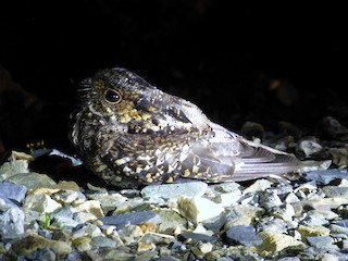 - Salvadori's Nightjar