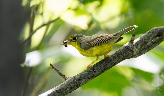 Possible First Alternate female Canada Warbler (19 July).