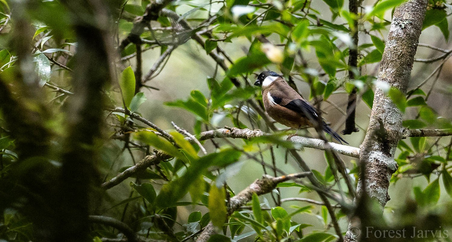 White-cheeked Bullfinch - Forest Jarvis