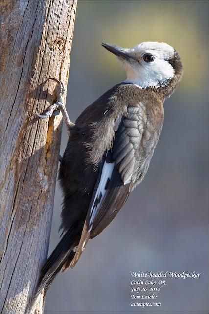 Juvenile female White-headed Woodpecker (26 July).