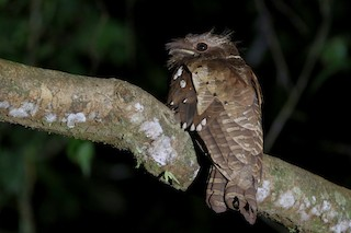 - Dulit Frogmouth