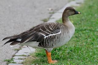 Tundra Bean-Goose, ML108263631