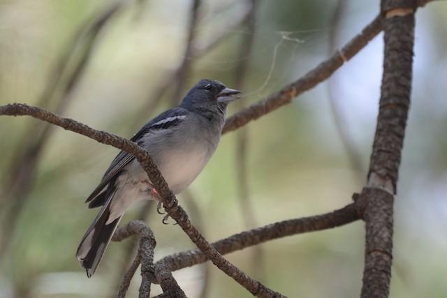 Gran Canaria Blue Chaffinch