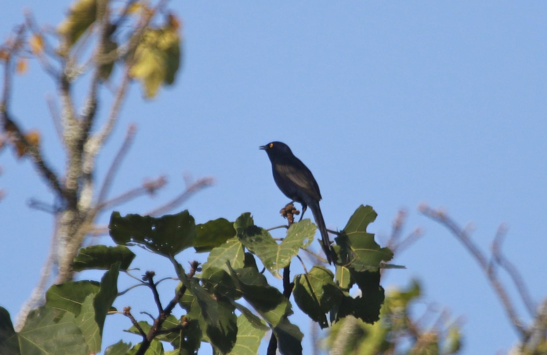 Narrow-tailed Starling - Gil Ewing