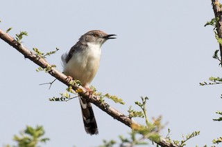 - Red-fronted Prinia