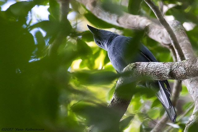 Stout-billed Cuckooshrike