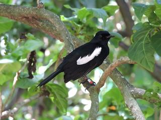 - Seychelles Magpie-Robin