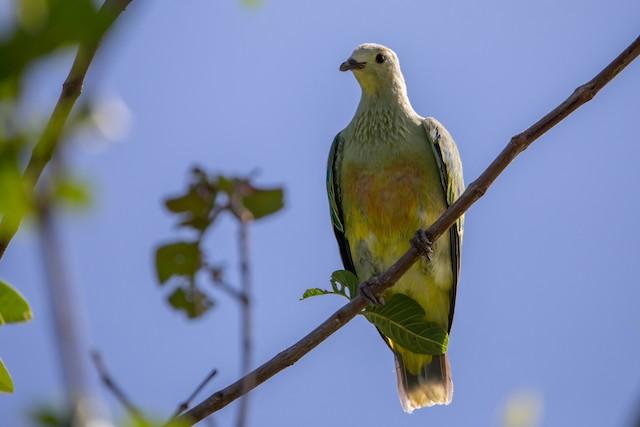 White-capped Fruit-Dove