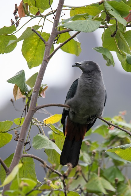 Marquesas Imperial-Pigeon