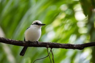 - Marquesas Kingfisher