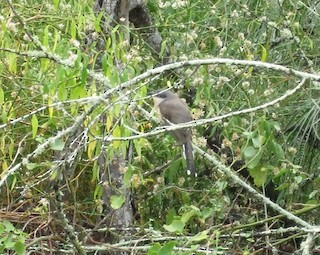Dark-billed Cuckoo