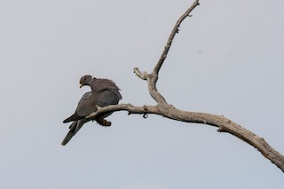 Band-tailed Pigeon, ML108526141