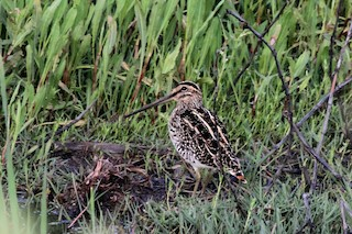 - African Snipe