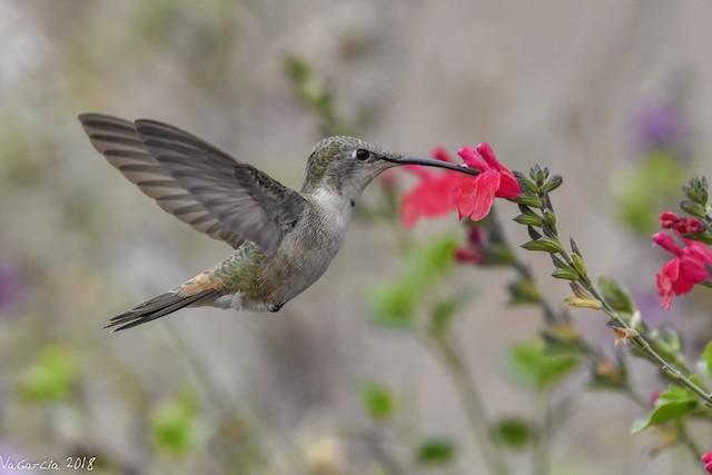 Oasis Hummingbird