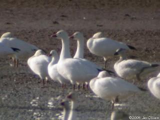 Ross's Goose, ML108714601