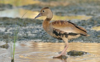Black-bellied Whistling-Duck, ML108797701