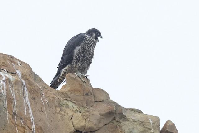 Peregrine Falcon (Peale's)
