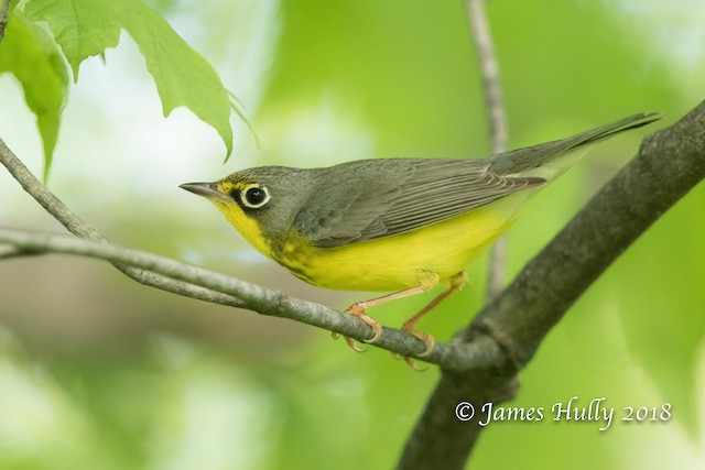 Possible Definitive Alternate female Canada Warbler (26 May).